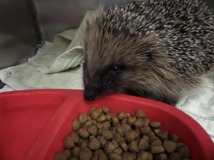 Hedgehog enjoying Ark food