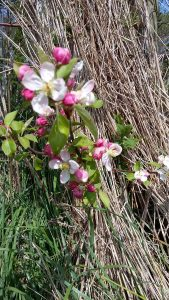 Stunning crab apple trees blossom early, essential for bees and other pollinating insects